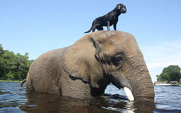 Labrador and elephant