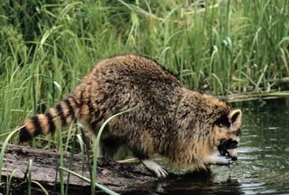 "Raccoons ""Wash"" Their Food Before Eating"