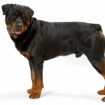 Top 10 Reasons the American Rottweiler is the Best