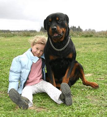 American Rottweiler